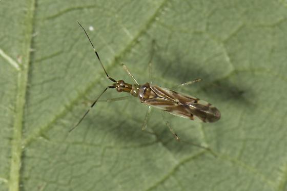 Dicyphus famelicus et Dicyphus discrepans? - Dicyphus