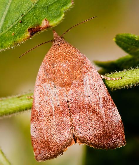 Moth - Hyblaea puera
