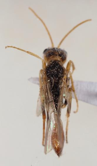 Roproniidae - Ropronia garmani