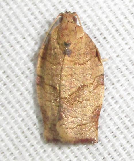 Choristoneura rosaceana - Oblique-banded Leafroller  - Choristoneura rosaceana