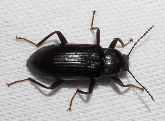 Dark-brown-legged black darkling - Strongylium terminatum