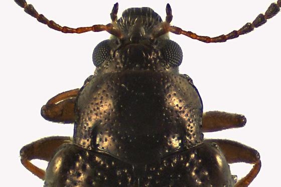 Leaf Beetle - Hippuriphila canadensis