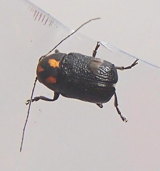 Beetle - Pachybrachis trinotatus