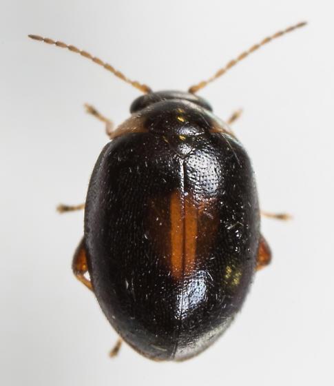 Scirtes orbiculatus