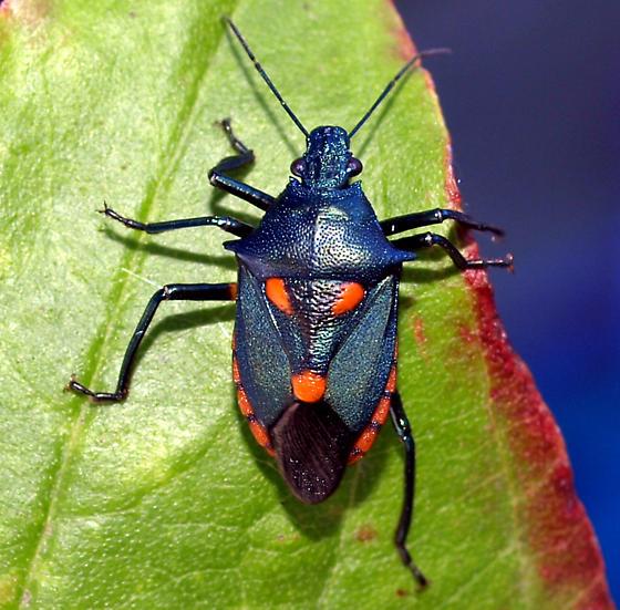 Florida Predatory Stink Bug - Euthyrhynchus floridanus - Euthyrhynchus floridanus