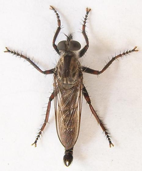 Robber Fly - Machimus callidus - male