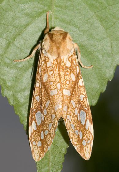 Hickory Tussock Moth - Lophocampa caryae