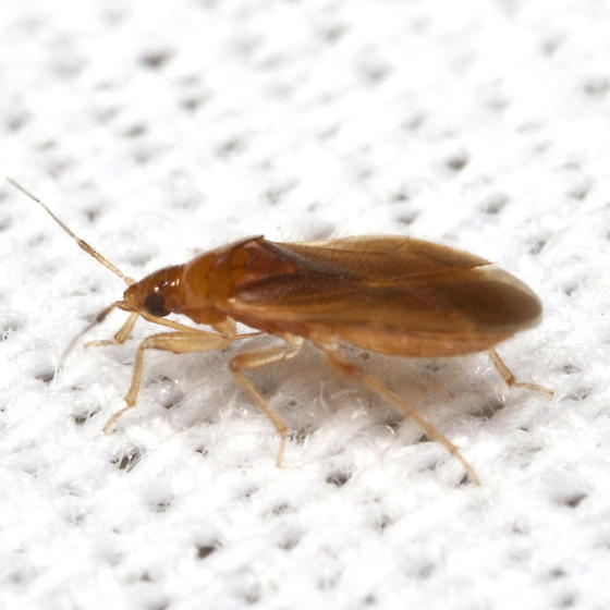 Red Bug - Lasiochilus pallidulus