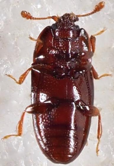 Cerylonidae Philothermus sp. ? - Philothermus glabriculus