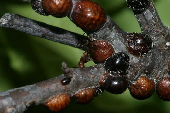 scale insects from plum tree bugguidenet