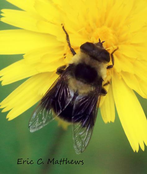 Bee mimic - Eristalis flavipes