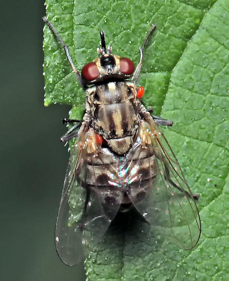 Muscidae? - Stomoxys calcitrans - female