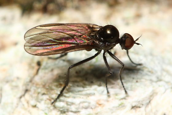 Dance Fly - Bicellaria