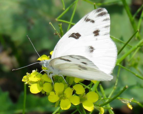 Checkered White (Pontia protodice) - Pontia protodice
