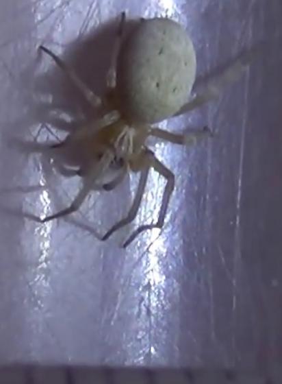 Desert Spider - Dictynidae - female