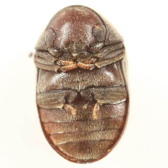 Beetle from attelabid leaf roll - Tricorynus