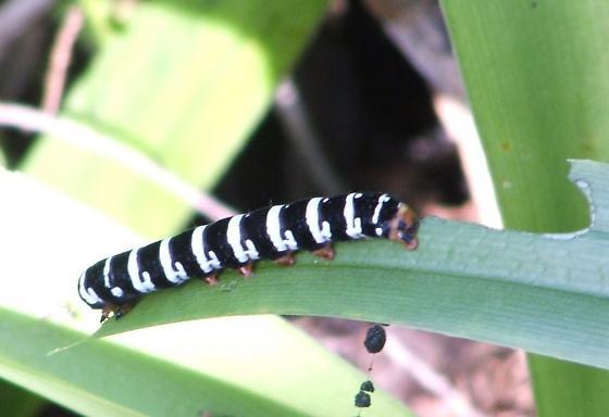Unknown caterpillar #2 - Xanthopastis regnatrix