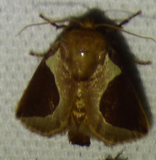 Prolimacodes badia - Skiff Moth - Prolimacodes badia