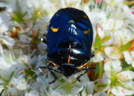 My nominee for Least Colorful Harlequin Bug - Murgantia histrionica