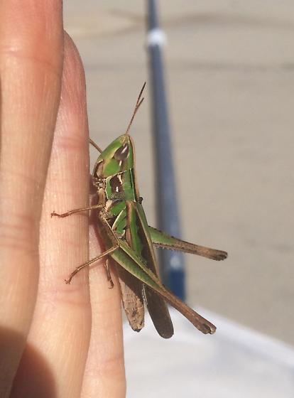 Admirable grasshopper?? - Syrbula admirabilis - female