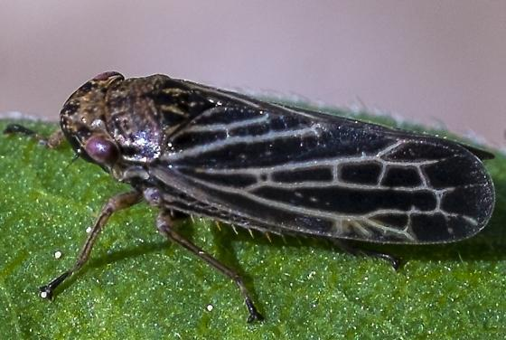 Dark Brown Leaf Hopper - Errhomus