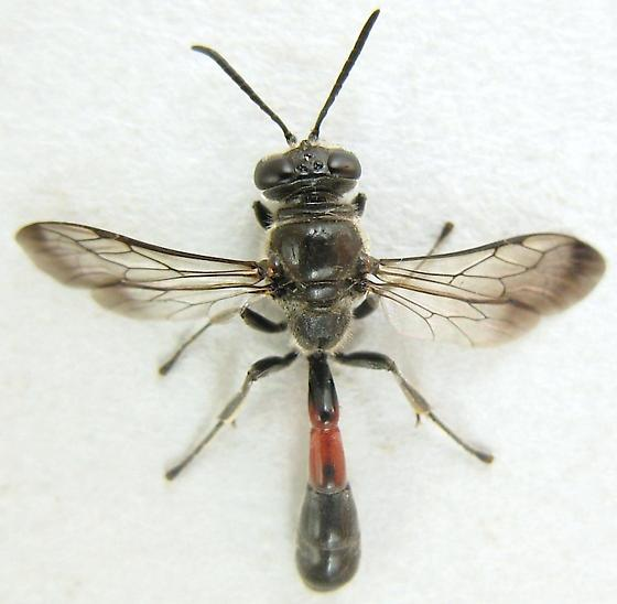 Wasp - Trypoxylon