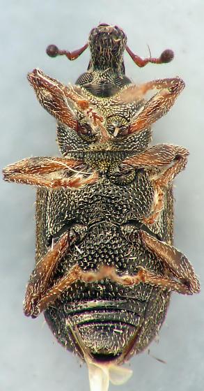 weevil - Listronotus anthracinus
