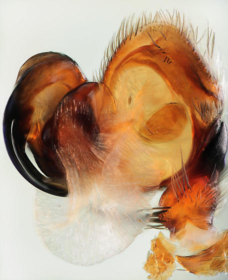 Left palp, fully expanded - Habronattus brunneus - male