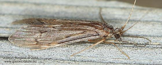 Oecetis cinerascens - female