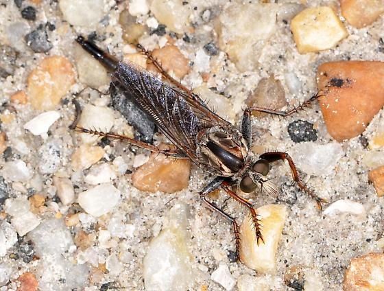 Unknown robber fly - Proctacanthus brevipennis