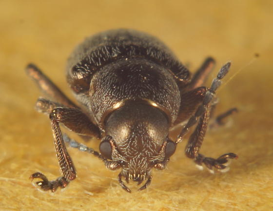 Unknown Coleoptera - Graphops pubescens