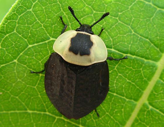 American Carrion Beetle Necrophila Americana Bugguide Net