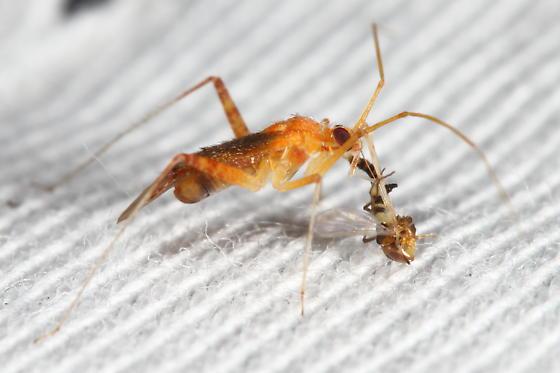 Predatory? mirid - Phytocoris