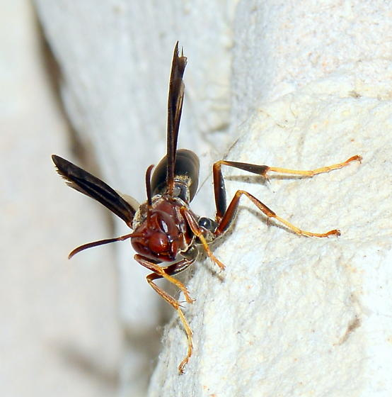 Please help us to identify this wasp. - Polistes metricus
