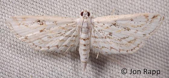 Watermilfoil Leafcutter Moth - Parapoynx allionealis