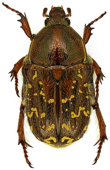 Female, Euphoria leucographa? - Euphoria leucographa - female