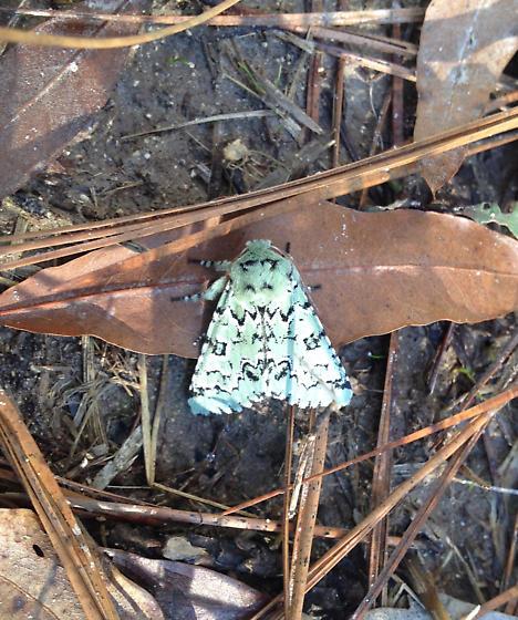 Unknown green, white and black moth in SC - Feralia