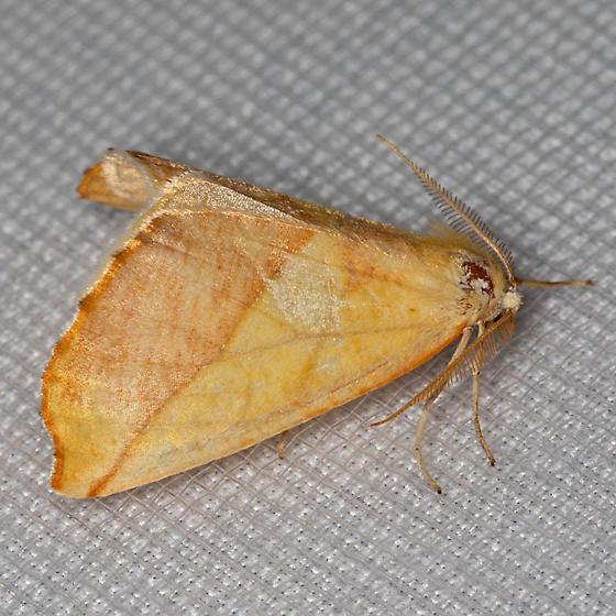 Sicya crocearia - male