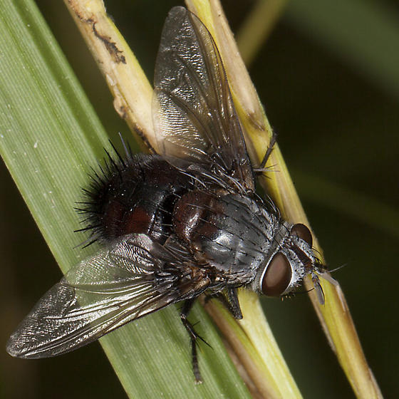 Tachinid Fly IMG_0080 - Leschenaultia