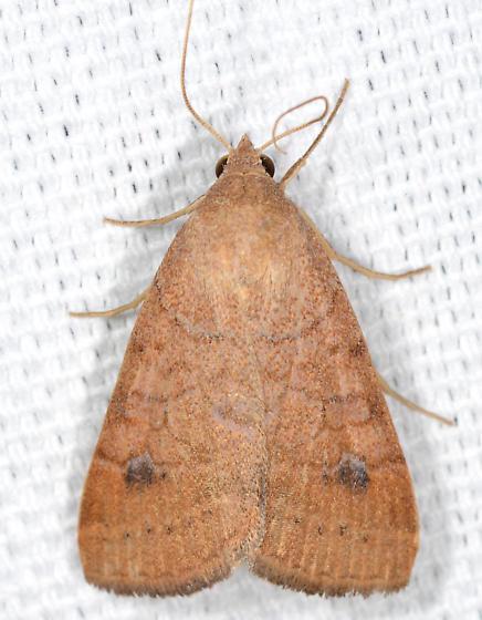 Caenurgia chloropha - Vetch Looper Moth - Caenurgia chloropha