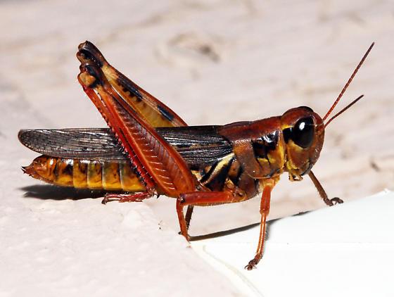 unidentified Acrididae - Melanoplus femurrubrum - female