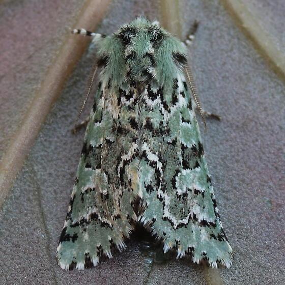 A Noctuid Moth - Feralia jocosa - male