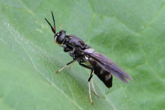 Black and White Fly - Hermetia illucens