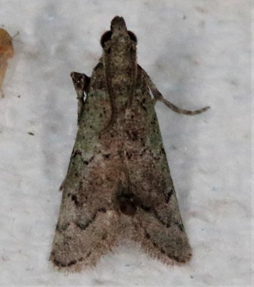 Cacotherapia flexilinealis - Hodges#5642 - Cacotherapia flexilinealis