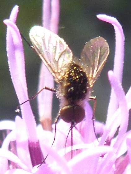 small hairy fly - Geron vitripennis