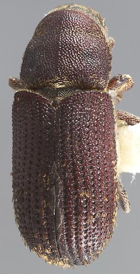 Pseudohylesinus granulatus