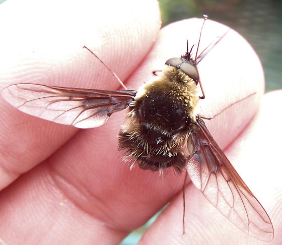 Bee Fly - Bombylius - male