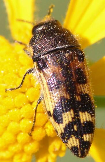 flower beetle - Acmaeodera mixta