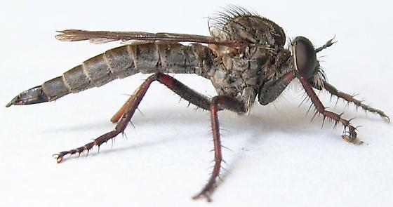 Robber Fly - Machimus callidus - female