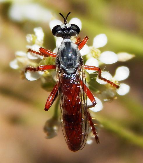 Asilidae - Saropogon nitidus